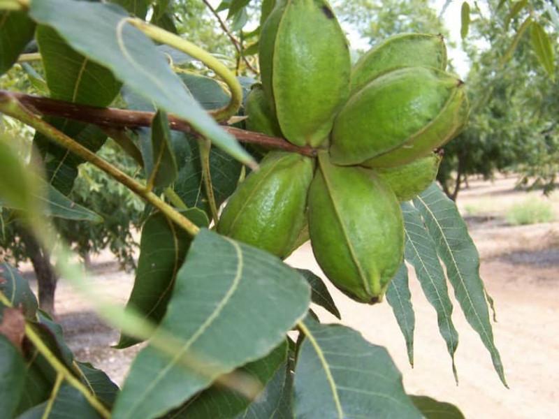 Green Pecans-min